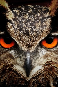 Owl Eagle Eyes