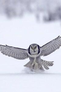 Owl In Snow