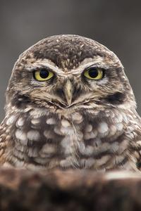 480x854 Owl Portrait 4k