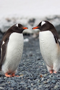 2160x3840 Penguins 4k