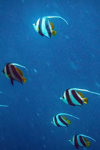 480x854 Pennant Coralfish 5k