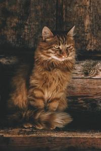 Persian Cat 5k