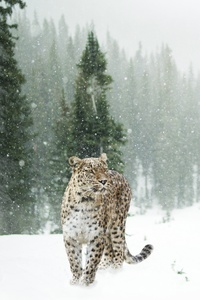 240x400 Persian Leopard In Snow 5k