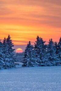 Pine Trees Snow