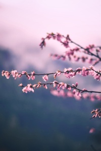 Pink Blossom Tree Branch Spring 5k