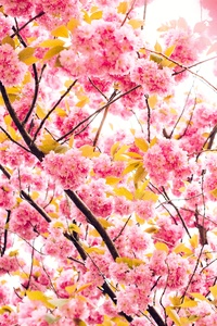 750x1334 Pink Blossoming Tree 8k