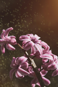 640x1136 Pink Color Hyacinth Flowers 5k