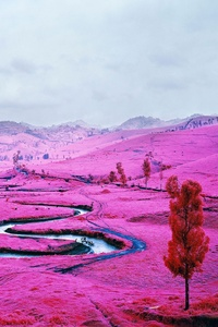 Pink Field Democratic Republic Of The Congo