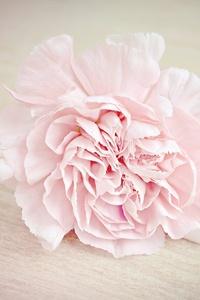 Pink Flower Carnation Blossom