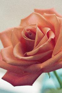 Pink Rose 5k