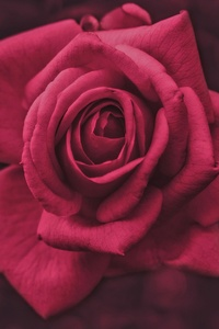 540x960 Pink Rose Flower Macro Photography