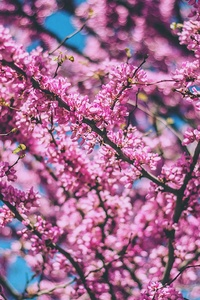 Pink Tree Branches 4k