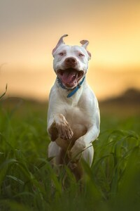 1080x2280 Pitbull Dog Breed Running