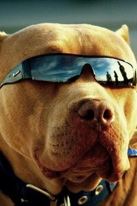 Pitbull Got Swag