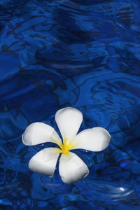 540x960 Plumeria Flower Water 5k