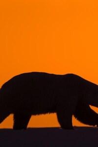 480x854 Polar Bear 2