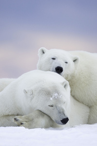 Polar Bears Cold Snow