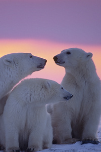 320x480 Polar Bear Family