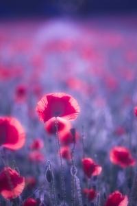 480x854 Poppy Flowers 8k