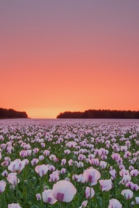 480x854 Poppy Flowers Field