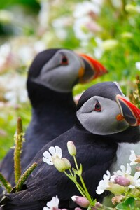 540x960 Puffin Couple