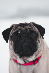 320x568 Pug In Snow 5k