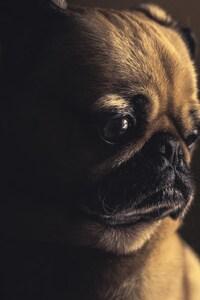 Pug Sad