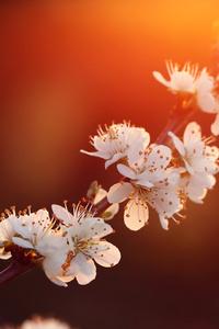 1125x2436 Purdown Blossom 5k
