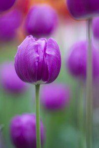 Purple Colour Tulips