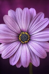 720x1280 Purple Daisy Flower