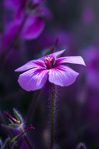 640x960 Purple Flowers