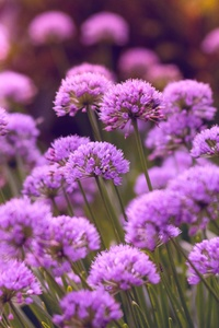 640x960 Purple Flowers 5k