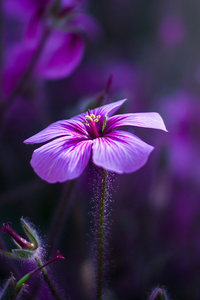 750x1334 Purple Flowers Macro 4k