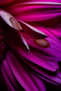 1440x2960 Purple Petals 4k