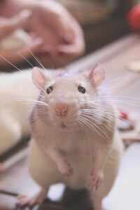 Rat Cute