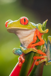 320x480 Red Eye Tree Frog 4k