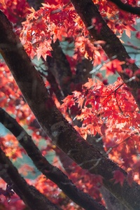 1280x2120 Red Fall Tree Autumn Leaves 5k