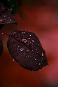 Red Leaf Droplets Dewdrops Macro Rain 4k