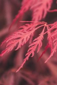 Red Leaf Macro 4k