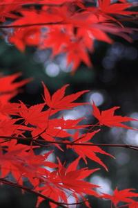 320x568 Red Leaves 5k