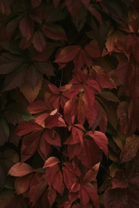 320x568 Red Leaves 8k