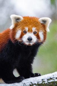 320x480 Red Panda 5k