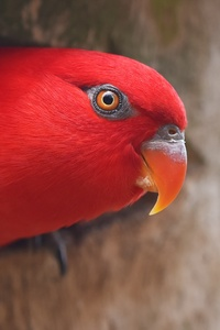 1080x2160 Red Parrot Portrait