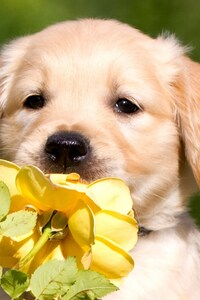 320x480 Retriever Puppy Petals