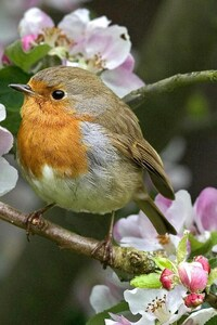 Robins Bird