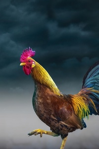 480x800 Rooster