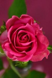 320x480 Rose 4k