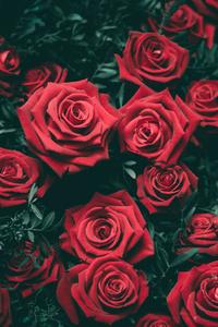 1440x2560 Rose 5k