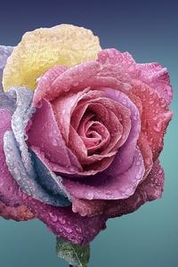 540x960 Rose Blossom