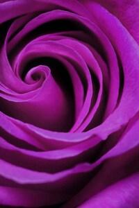 320x480 Rose Bud Petals